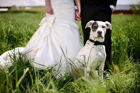 spotted dog: Wedding dog in bow tie in front of bride & groom Editorial