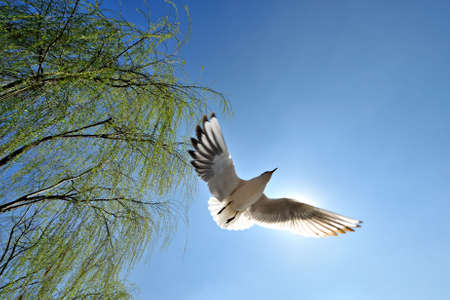 Seagull flying air