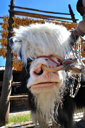ruminant: Cartoons of the yak