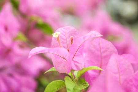 Purple bougainvillea in closed-up on natural green background. Stock Photo