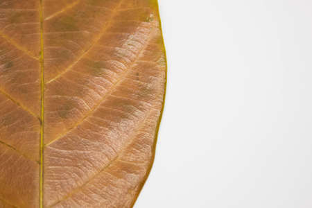 leaves on a white background, Background Close Up Big brown leaves, textured autumn brown leaf, Abstract autumn leaf background, dry leaf on white background