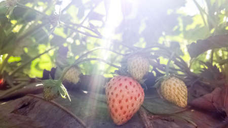 Strawberry fruits on the branch at Strawberry farm