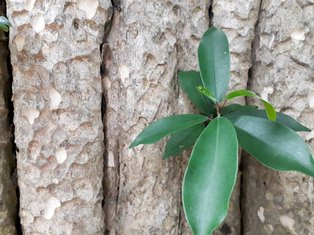 Green leaves germinate in the middle of the tree, Small leaf bud on tree bark, Young leaves sprout in the middle of a tree, Fresh green leaves germinate in the middle of a tree, The old tree texture with tree Stock Photo