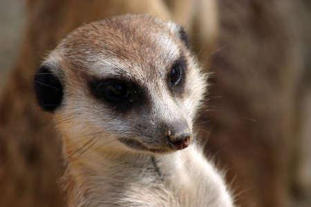 suricate: Suricate (meerkat) portrait Stock Photo