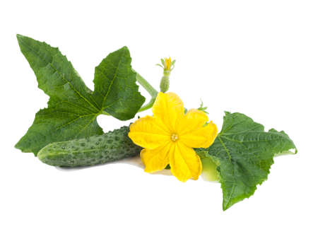 Fresh green cucumber with leaves and flower isolated on white background