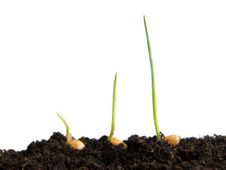 outgrowth: Wheat seeds germination isolated on white background Stock Photo