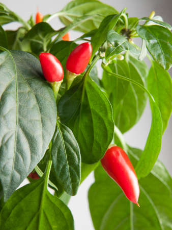 Bright red hot peppers ripening on a plant Stock Photo