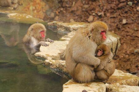 Snow Monkey in Jigokudani Monkey Park, Yamanouchi town, Nagano Pref., Japan