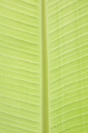 Water drip on banana leaf photo