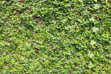climbing fig: Climbing fig  tree wall background with Ivy Gourd