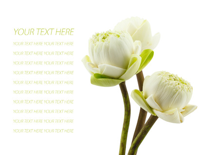 petal of the green three lotus flowers blossom isolated on white background photo