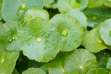 natural fresh Water Pennywort or Centella asiatica leaf photo