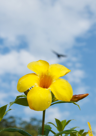 Yellow Allamanda flower with blue sky in  the morning photo
