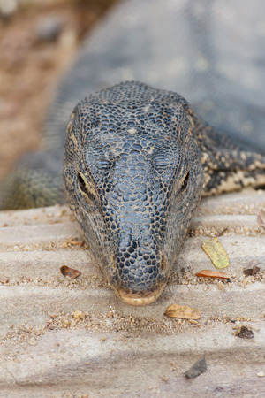 head of  Bengal monitor  Varanus bengalensis  photo