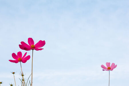 cosmos flowers: Purple cosmos flower on blue sky in the morning