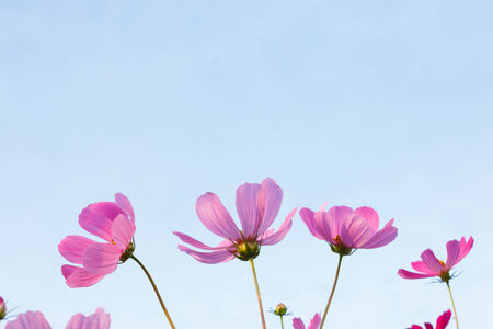 Beautiful pink cosmos flowers on sky background