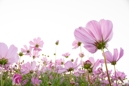Pink Cosmos flower on white background photo