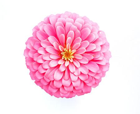 pink zinnia flower isolated on white background photo