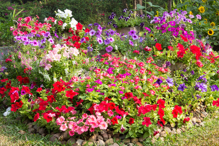 Colorful petunia flowers in garden photo