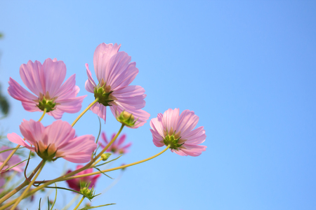 Pink Comos Flowers on sky background photo