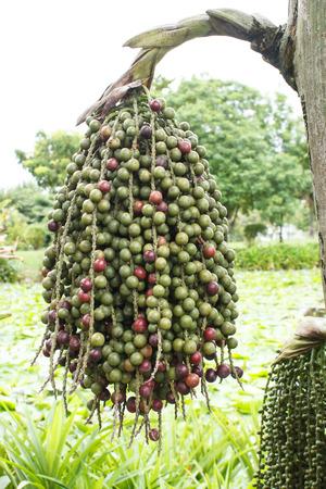 betelnut: Betel Nuts (Are-ca Nut Palm) Tree Stock Photo