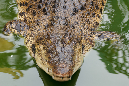 siamensis: Big siamese crocodile in water Stock Photo
