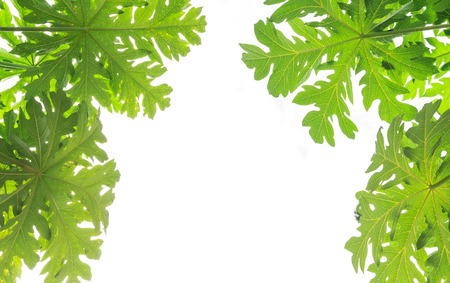 Papaya leaves on white background with sample text