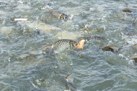 fishery products: Silver barb fish eating bread