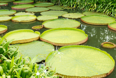 Victoria waterlily leaves in pond photo