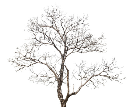dead tree: Dead tree isolated on white background