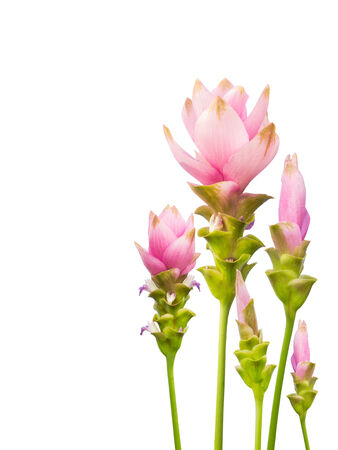 Pink  siam tulip isolated on white background photo