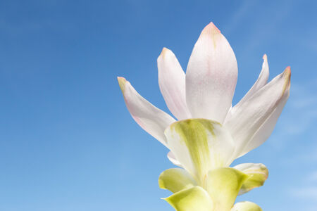 close-up of siam tulip flower with sky photo