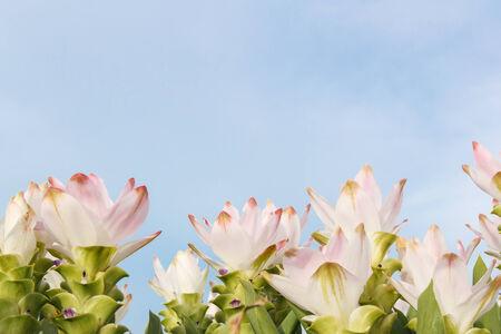 Pink siam tulip photo