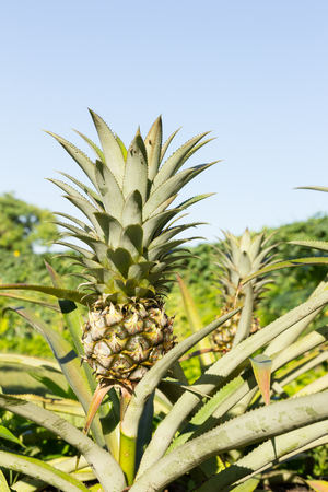 pineapple tree: Pineapple tree with blue sky