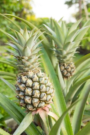 pineapple tree: �rbol de la pi�a