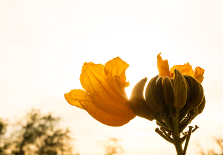 Golden flower of african tulip tree with sunlight photo