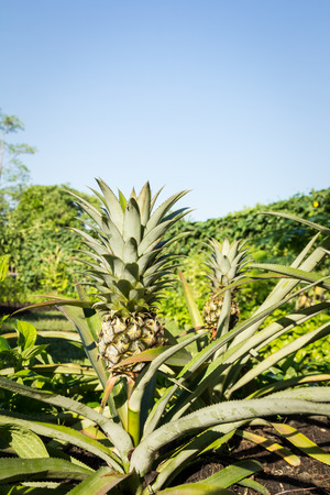 pineapple tree: young pineapple tree in the morning