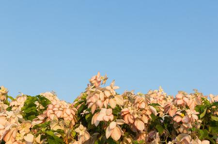 sirikit: Dona Queen Sirikit Flower with Sky Background