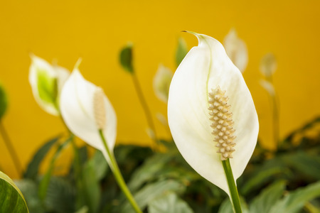 peace lily: White peace lily flower on yellow background Stock Photo