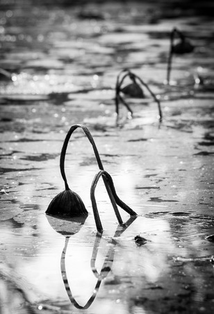 black and white photo of dried lotus in the pond photo