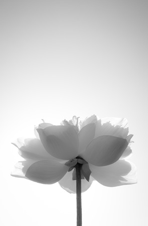 black and white lotus on white background