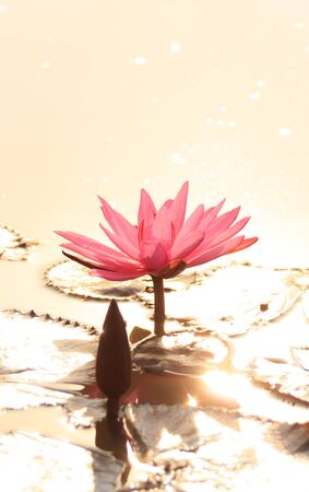 pink lotus flower in golden sunlight