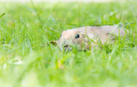 prairie dog: prairie dog peeping on grass in summer