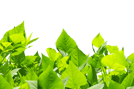 winged: green leaves of winged bean on white background