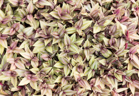 inch: top view of inch plant ,Wandering jew or Tradescantia zebrina Stock Photo