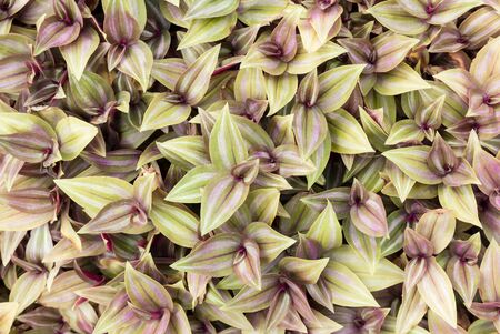 wandering: top view of Inch plant ,Wandering jew or Tradescantia zebrina Stock Photo