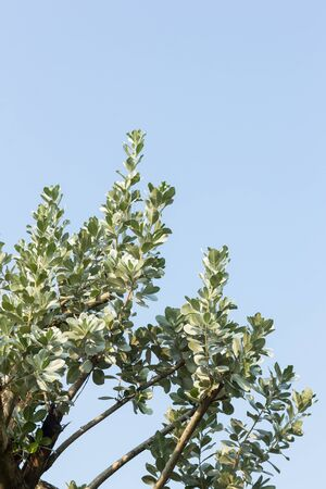 erectus: leaves of silver buttonwood on blue sky background Stock Photo