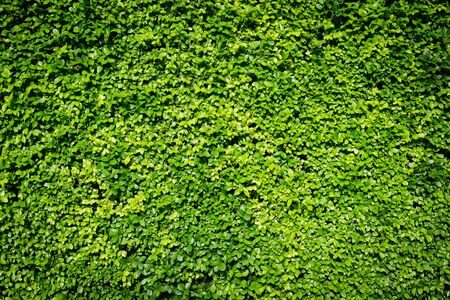 hedgerow: green small leaves wall background