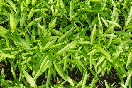 convolvulus: water spinach or water convolvulus at farm
