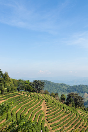 tea plantation terrace on mountain and blue sky in the morning Imagens